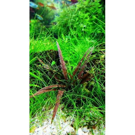 cryptocoryne albida 39 brown 39 plante aquarium naturel aquadesigner. Black Bedroom Furniture Sets. Home Design Ideas