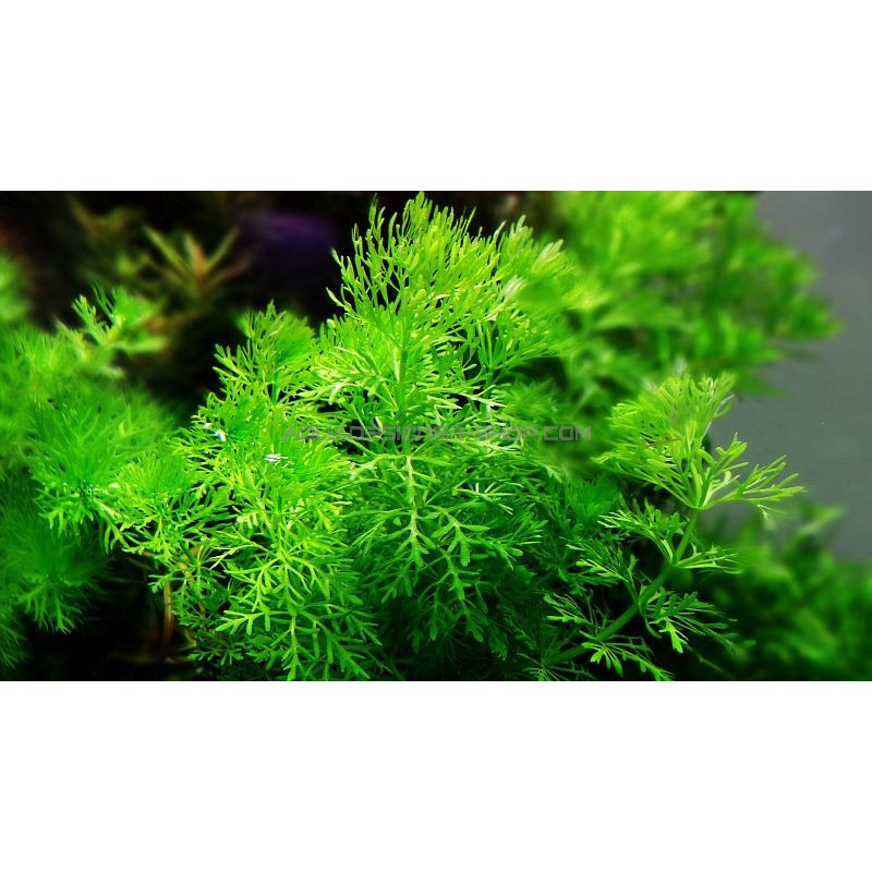limnophila sessiliflora plante aquarium naturel. Black Bedroom Furniture Sets. Home Design Ideas