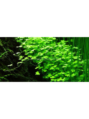 "Hydrocotyle tripartita ""in vitro"""