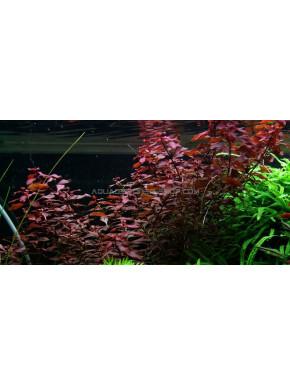 "Ludwigia palustris ""in vitro"""