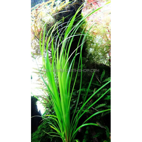 cyperus helferi plantes aquarium naturel aquascaping. Black Bedroom Furniture Sets. Home Design Ideas