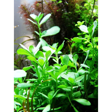 bacopa 39 compact 39 plante aquarium tropica aquadesigner. Black Bedroom Furniture Sets. Home Design Ideas