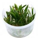 Helianthium tenellum (ex echinodorus tenellus) 'Green'  in vitro