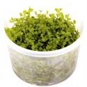 Micranthemum Tweediei 'Monte Carlo' in vitro