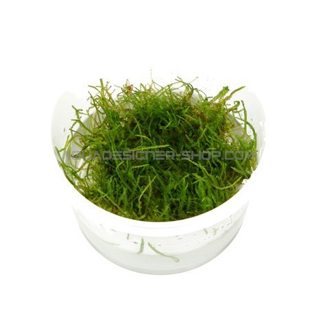 Taxiphyllum barbieri in vitro