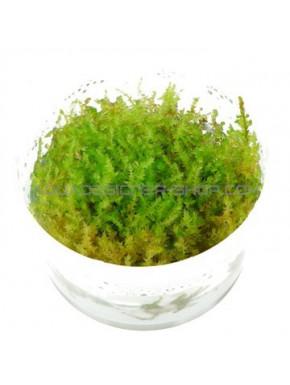 Vesicularia dubyana 'Christmas'  in vitro