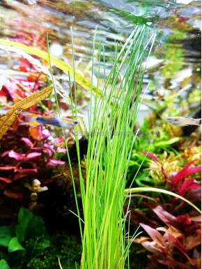 Eleocharis sp.
