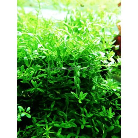 Rotala 'Green'