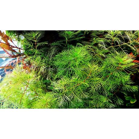 miryophyllum mattogrossense
