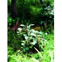 Bucephalandra Green Wavy