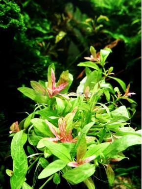 Hygrophila polysperma 'Rosanervig'