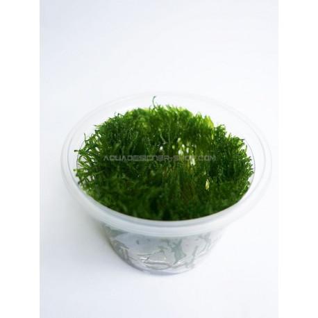 Mini Taiwan moss