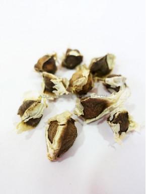 Graine de Moringa Oleifera x10