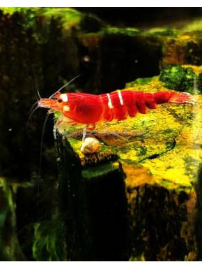 Super red crystal red src