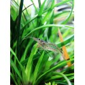 Crevette Amano caridina multidentata ex caridina japonica