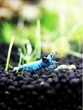 Mosura blue Taiwan Bee caridina cantonensis logemanni shadow shrimp