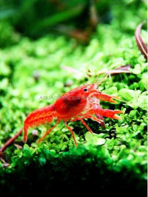 CPO écrevisse Cambarellus patzcuarensis var. Orange