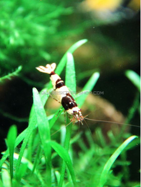 Crystal Black Shrimp