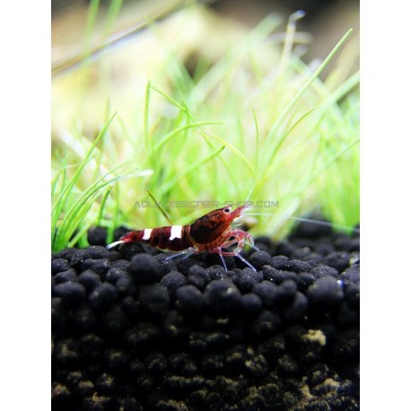 Taiwan Bee Red