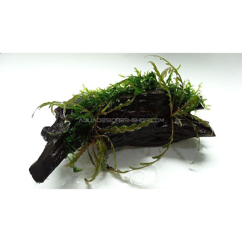 pinatifida et mousse sur racine plante sur racine mousse aquarium