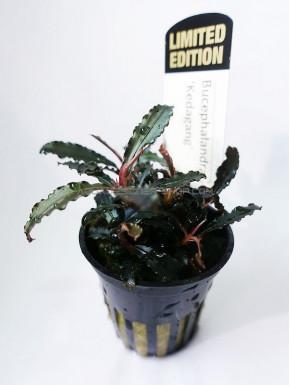 Bucephalandra  sp red