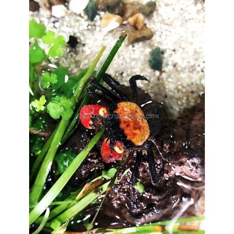 Geosesarma Red Devil crabe vampire