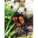 Geosesarma Red Devil crabe vampire mâle