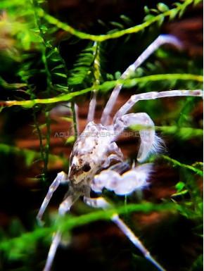 Limnopilos naiyanetri