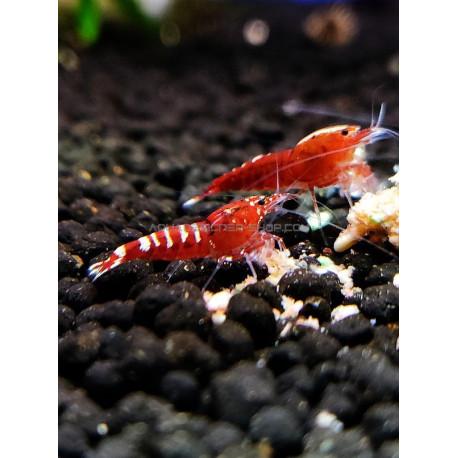 Pinto Red Taiwan Bee caridina cantonensis logemanni shadow shrimp