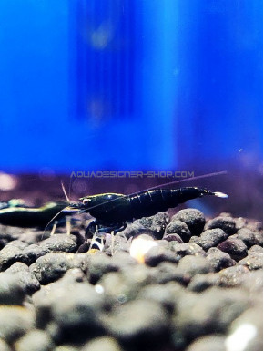 Gene Backline Black Taiwan Bee caridina cantonensis logemanni shadow shrimp