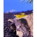 Yellow King Kong Taiwan Bee caridina cantonensis logemanni  shrimp