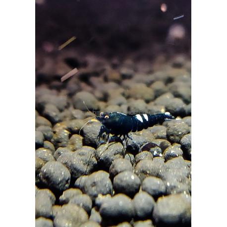 Pinto Black Taiwan Bee grade A caridina cantonensis logemanni shadow shrimp