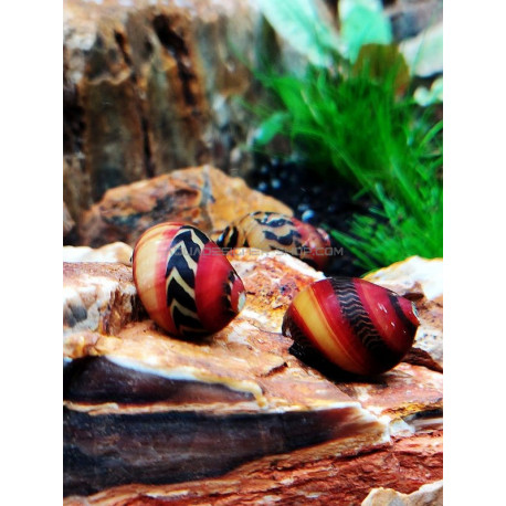 Neritina waigiensis red tricolor