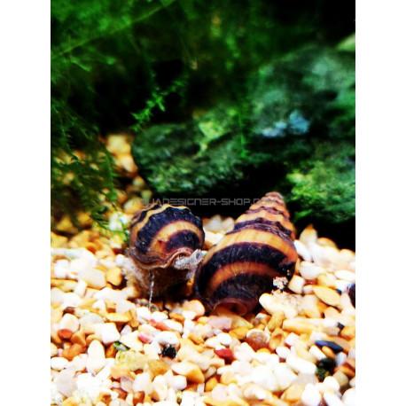Anentome helena Clea helena escargot mangeur d'escargot