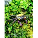 Geosesarma BICOLOR  crabe vampire mâle