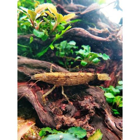 Crevette bambou - Atyopsis moluccensis