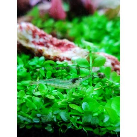 Babaultie Green crevette