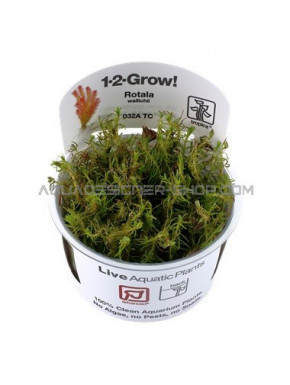 "Rotala wallichii ""in vitro"""