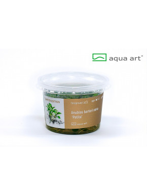 Anubias nana 'Petite' in vitro
