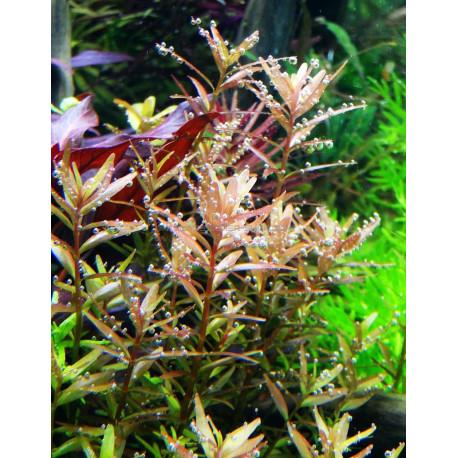 Rotala rotundifolia in vitro