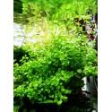 Micranthemum umbrosum in vitro
