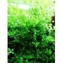 Rotala 'Green' in vitro