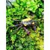 Geosesarma BICOLOR  crabe vampire femelle