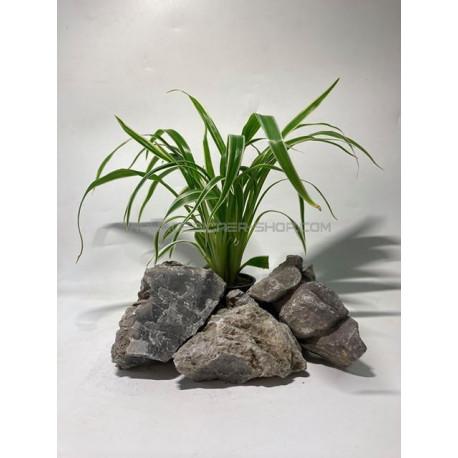 chlorophytum bichetii