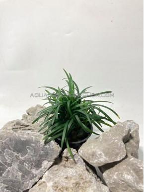 "ophiopogon japonica ""Pussilus"""