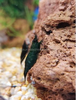 Blue Saphir neocaridina davidii