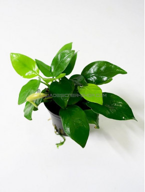 "Anubias nana ""Golden"" in vitro"