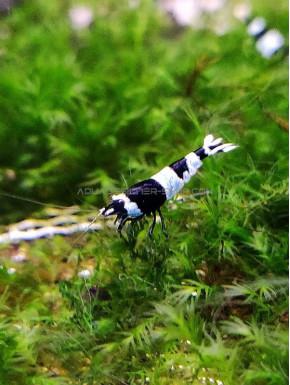 Panda Taiwan Bee caridina cantonensis logemanni shadow shrimp