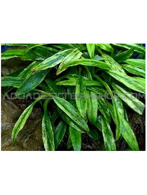 Anubias glabra variegata in vitro