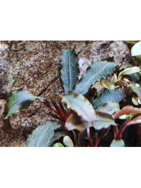 "Bucephalandra blue green ""in vitro"""